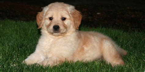 miniature golden retriever california miniature golden retriever breeders california merry photo