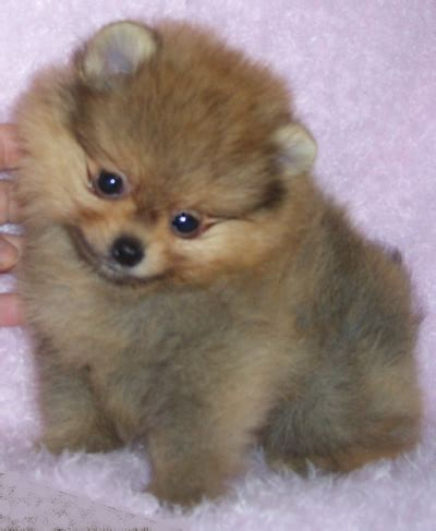 sweetwater pomeranians stagecoachpomeranians our boys
