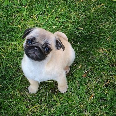 fluffy pug fluffy pug puppy image 2686683 by taraa on favim