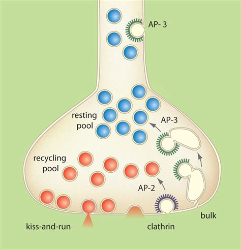 u turn at next synapse books decoding the mystery how do neural synaptic vesicle pools