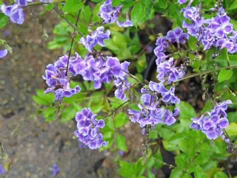 online plant guide duranta erecta sapphire showers sapphire showers duranta
