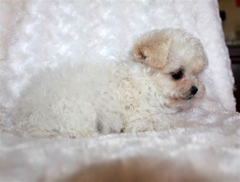 maltipoo puppies for sale los angeles teacup malti poo puppy for sale los angeles iheartteacups