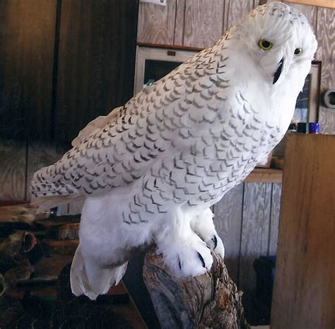 snowy owl feathers for sale f f info 2017