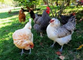 Chickens For Backyard Pros And Cons Of Backyard Chickens