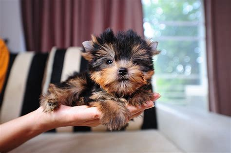 do teacup yorkies bark a lot 50 damn yorkie haircuts for your puppy hairstylec