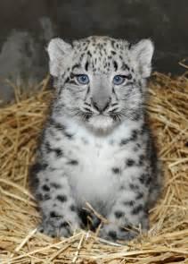 Snow leopard cub born june 13 2013 at the brookfield zoo photo taken