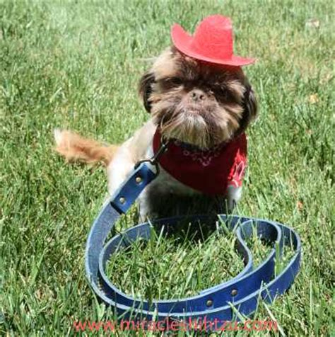 shih tzu collars handcrafted collars for shih tzu dogs a great alternative