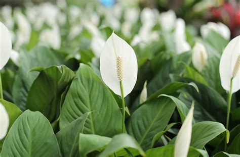 peace lily clear the air the best purifying houseplants according