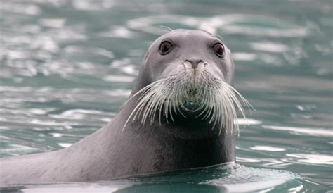 so seal bearded seal facts history useful information and
