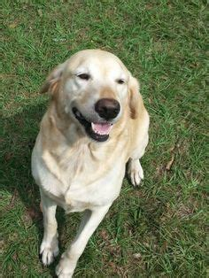 are golden retrievers easy to potty 1000 images about make a difference rescue me on golden retriever rescue