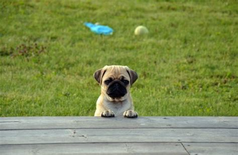 pug owners personality pug temperament personality canna pet 174
