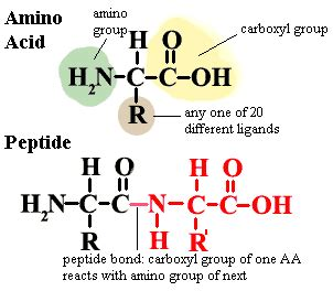2 carbohydrates found in living organisms ib biology topic 3 2 carbohydrates lipids and proteins