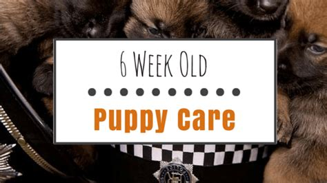 puppy care 6 weeks 6 week puppy care essential supplies your pet