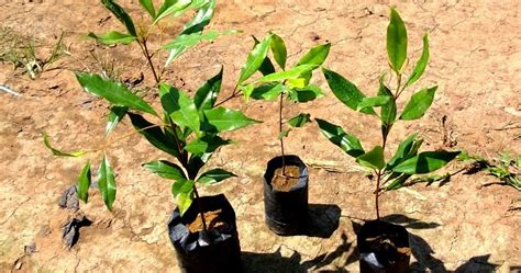 bibit tanaman murah jual bibit cengkeh di makassar