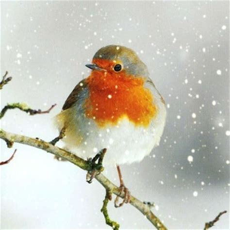 donation as a christmas gift birds 100 best robin cards 1 images on robins robin redbreast and animals