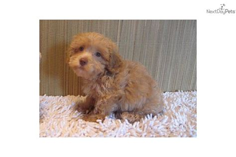 yorkie poo puppies for sale in dallas yorkipoo puppies for sale breeds picture