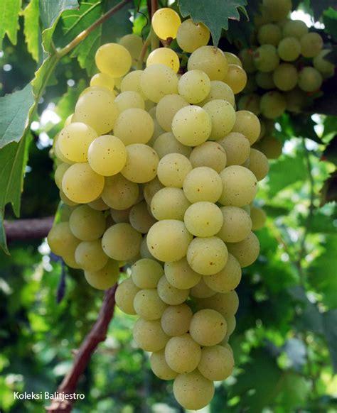 Jual Bibit Anggur Jepang Anggur Unggul Dari Balitjestro Bebeja