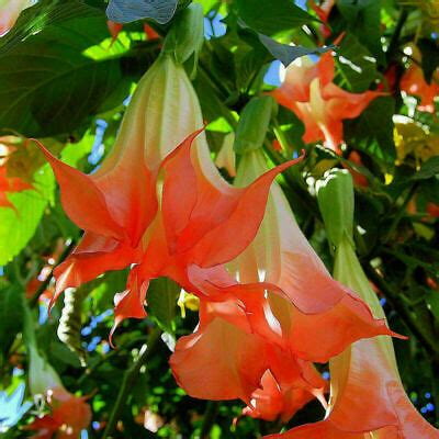 red brugmansia datura seeds angels trumpets huge