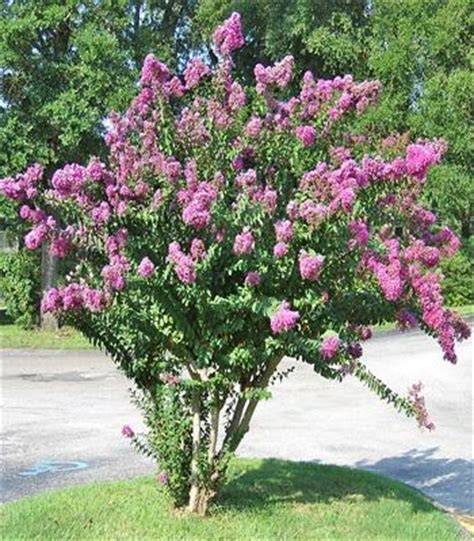 southern flowering shrubs flowering shrubs for landscaping plants in the southern us