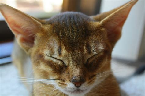 funny Abyssinian Cat Breed ,pictures Fashion signs and