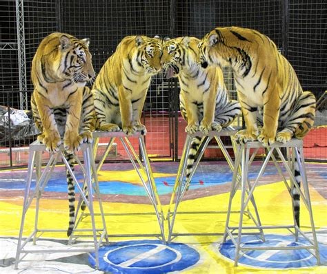 tigers among orak shrine circus performers coming to town post tribune