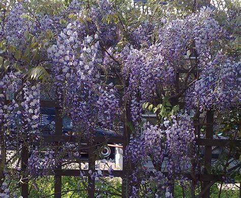 blauwe regen weinig bloemen wisteria sinensis klimplanten