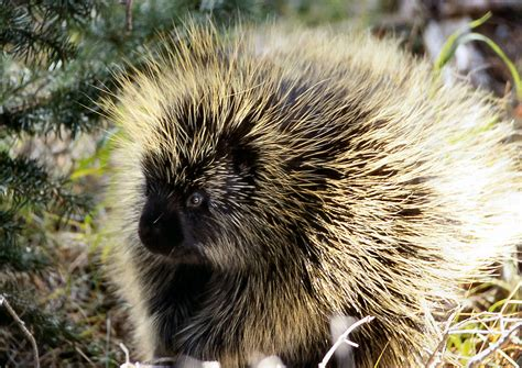porcupine quills in porcupines prickly quills could lead to easier injections health news npr