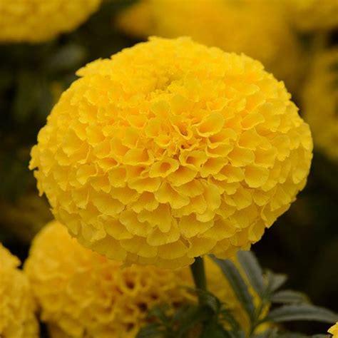 Yellow Marigold taishan 174 yellow marigold