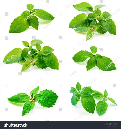 Fresh Mint Collection fresh mint isolated on white collection stock photo