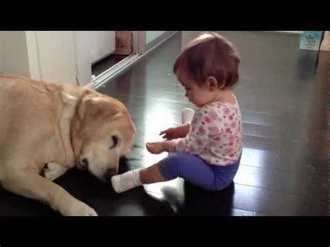 golden retriever attacks child baby and white labrador puppy meet for the time doovi