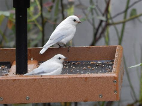 Bluebird Feeder Leucistic Bluebird Family Feederwatch