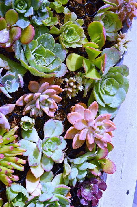 diy hanging succulent planter  uncommon slice  suburbia