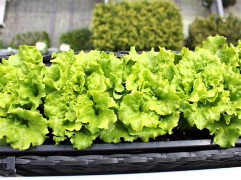 coltivare insalata in vaso orto nel balcone orto in balcone coltivare orto su balcone