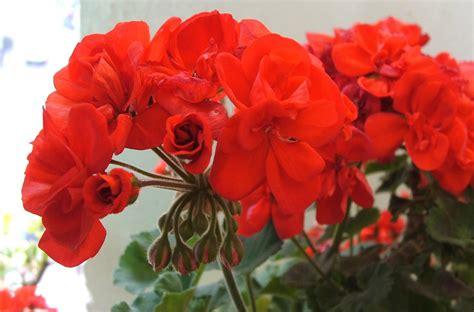 fiore geranio file fiore di geranio jpg