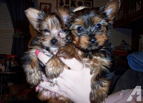 yorkie puppies montgomery al babyface teacup yorkie puppies for adoption for sale in montgomery alabama classified