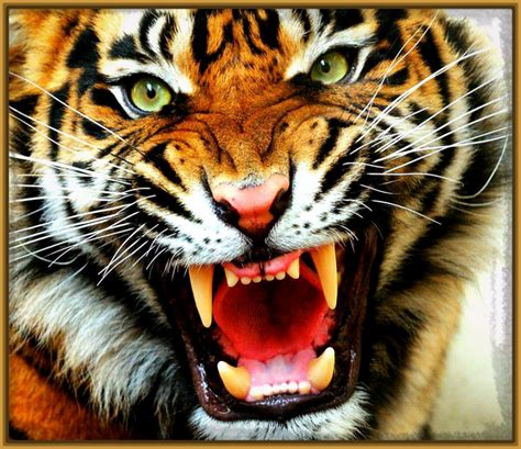 imagenes de tigres cool fondos de tigres related keywords fondos de tigres long