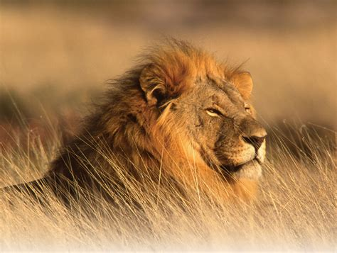 lion s the lion interesting facts about king of jungle