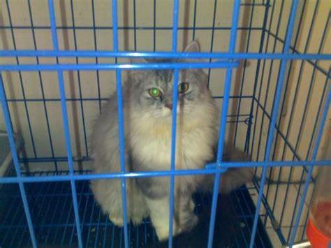 Jual Hair Dryer Kucing jual kucing jantan hair yogyakarta jual kucing