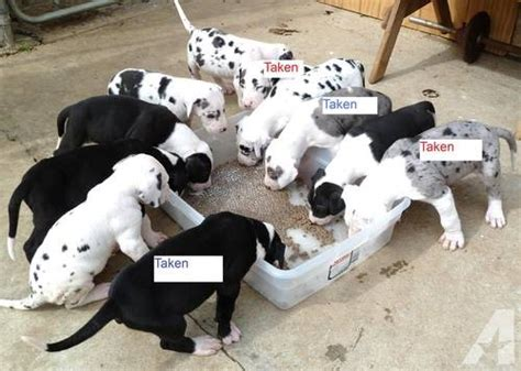great dane puppies for sale california akc great dane puppies for sale in moreno valley california classified