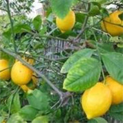concimi per limoni in vaso concime per agrumi concime