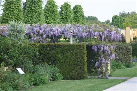 blauwe regen kopen boskoop druiven planten kwekerij