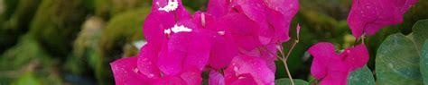 bouganville fiore fiore di bouganville rosa cing bungalow globo rojo