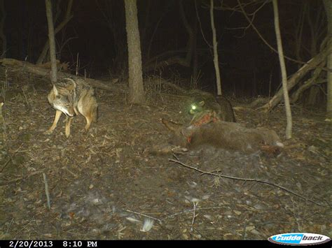 fascinating footage seen through lens of the trail cam