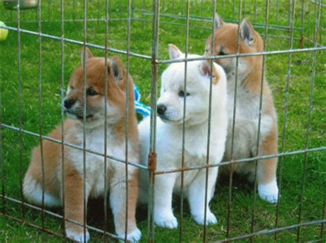 dogs for adoption ta shiba inu sale singapore shiba inu puppies buy buy shiba inu breeders shiba inu