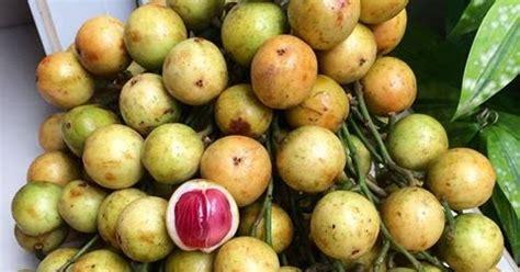 tanaman buah kepundung samudrabibitcom
