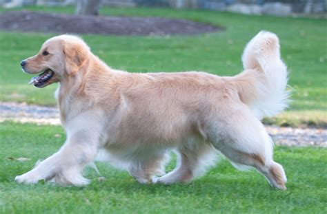 goodtime golden retrievers ringo goodtime golden retrievers