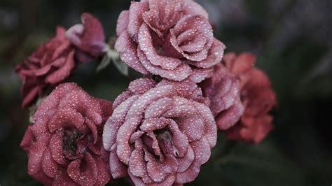 hd hintergrundbilder rosen blumen blueten nass tropfen