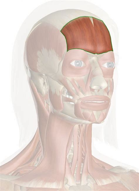 Frontal Belly of Epicranius Muscle (Frontalis Muscle) Frontalis Muscle Origin Insertion Action