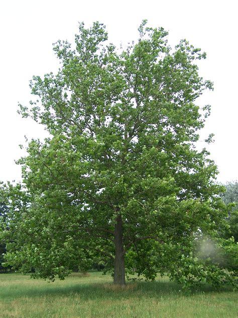 description of a tree file sycamore platanus occidentalis jpg wikimedia commons