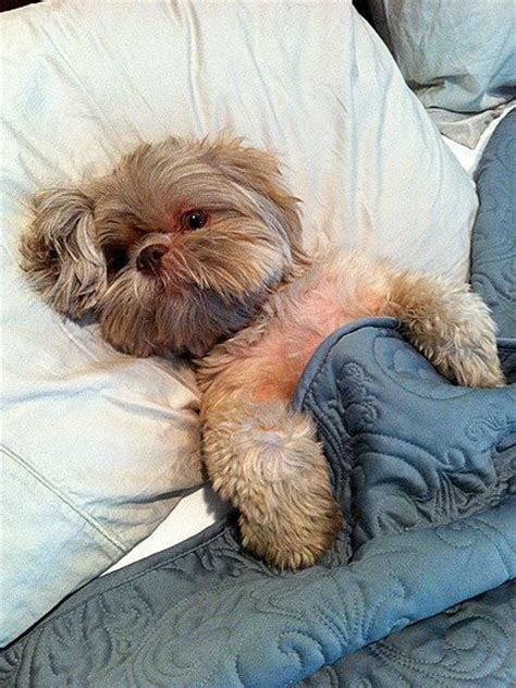 shih tzu bed shih tzu in bed animal